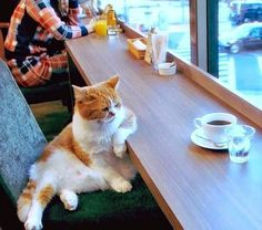 Can I bring my cat to the cat cafe? This is literally the first question people ask about cat cafes. But go mingle with the cat cafe kitties and make new kitty friends! Funny Cats, Funny Animals, Cute Animals, Baby Animals, Cool Cats, Gato Gif, Gatos Cats, Photo Chat, Cat Cafe