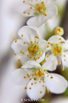 seidenfeins Dekoblog: echte Kirschblüten im Winter * cherryblossoms in winter Dekoblog, Winter, Plants, Tulips, Cherries, Winter Time, Flora, Plant, Winter Fashion