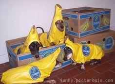 dacshunds in bananas costumes