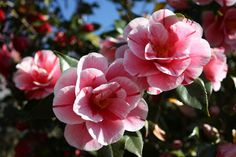 XXIV exhibition of the ancient camellias of Lucca