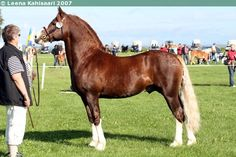 Welsh C stallion Talyllyn Abel. Welsh C (Welsh Cob-type pony) is the newest of the Welsh sections. It is actually a Welsh Cob under 137 cm at withers. Otherwise it shares the same conformation as Welsh Cob.