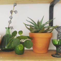 Mini pannenkoekplant. Stekje voor plantenasiel.
