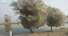 Spider trees:  When large areas of Pakistan were flooded in 2010, all the large tropical spiders needed somewhere to go.