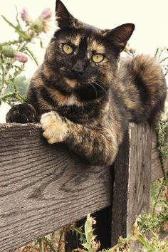 Tortoiseshell Cat ~ Awesome markings♥