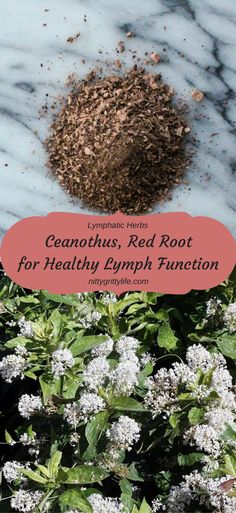 Warming, slightly spicy red root, Ceanothus americanus, is an outstanding lymphatic herb for those with chronic lymph complaints.