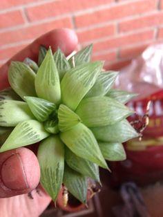 Haworthia Turgida - http://www.gardenanswers.com/succulents/haworthia-turgida/