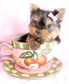 teacup yorkie by teacupspuppies.com