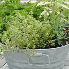 Container Basil, Parsley, Dill and Chives.  Nice patio house warming gift.