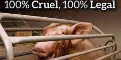 PLZ HELP TO #CHANGE THEIR LIFE #pigs #farmanimals @MariaMiaow @_AnimalAdvocate @LeoJabbasky https://secure.avaaz.org/it/petition/Ministero_delle_politiche_agricole_alimentari_e_forestali_ABOLIAMO_LE_GABBIE_DI_GESTAZIONE_DEI_SUINI/?svsupcb…
