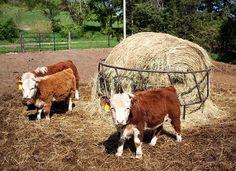 Miniature Cows.