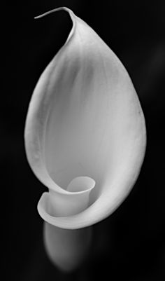 Exotic Flowers, White Flowers, Beautiful Flowers, Calla Lillies, Calla Lily, Zantedeschia Aethiopica, Lily Painting, Fotografia Macro, Black White Art
