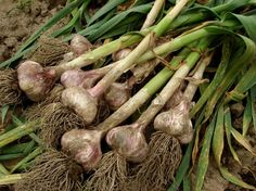 """If you've been wondering """"How does garlic grow?"""" the short answer is this: gently break the garlic into cloves, plant the cloves, cover with soil and water. The planted garlic will soon generate stalks (scapes). When these scapes start to wither, you are now ready to harvest your garlic."""