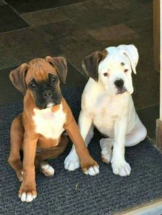 These little Boxer buddies are just too cute!
