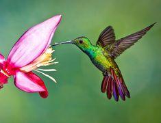 Bellas Aves de El Salvador: Anthracothorax prevostii (manguito pecho verde)