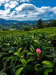 A Tea Plantation in Cameron Highlands, Malaysia - Visited this place in March 2012. Fascinating and breathtaking!