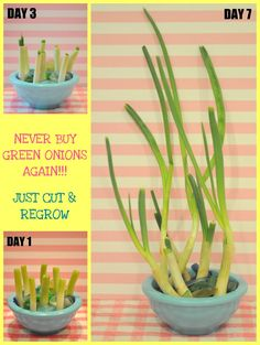 how to regrow scallions, how to regrow onions, never buy onions again, never buy scallions again, diy, household tricks,