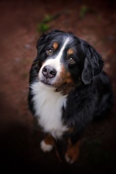 __Gambler - Portrait 1__ - If you follow me you would of seen a photo I did of Gambler the Bernese Mountain Dog from December 2014. I ran across Gambler the other day and she's as beautiful as the first time I photographed her.