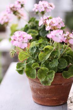 potted geranium ..