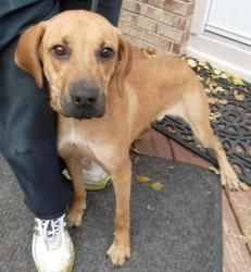 Verdell is an adoptable Hound Dog in Waterford, MI. This is Verdell. He is a 2 year old Hound/Shepherd mix. Verdell is neutered and current on all of his shots. He had been adopted but was returned...