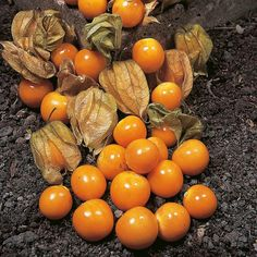 Aunt molly's ground cherry (Physalis Peruviana) SEEDS,Ground Cherry Great for Pie & Jam