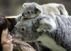 Baby Koala bear <3