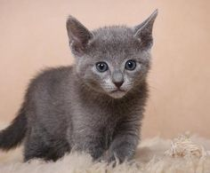 Royal Russian Blue Kitten