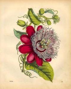 3d7d8b647081334ec68fce62af55f297--botanical-drawings-botanical-illustration.jpg (238×300)