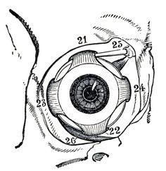 Muscles of the Human Eyeball # eye # anatomy Eyeball Anatomy, Eye Anatomy, Human Body Anatomy, Anatomy Drawing, Anatomy Study, Anatomy Art, Medical Drawings, Realistic Eye Drawing, Eye Illustration