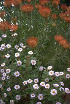 Olearia tomentosa and Leucospermum sp.