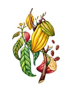 Branch of cacao, watercolor. Olga Svart Illustration