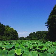 【hanaharu863】さんのInstagramをピンしています。 《景色#風景#晴天#青空#雲#緑#森#蓮の葉#蓮根畑#奥まで》