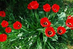 tips for caring for Tulips