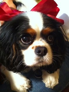 awwww please someone get me a king charles cavalier spaniel. i will love you forever!