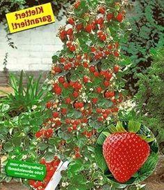 strawberry maxim xxl plants. Black Bedroom Furniture Sets. Home Design Ideas
