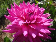 """Dahlia """"I'm a Hottie"""" Beautiful Girl Indian, Dahlias, Plants, Dahlia, Dahlia Flower, Plant, Planets"""