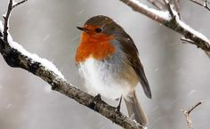 The English Robin stays and brightens up the winter landscape with its adorable cheeky self. Red Robbin, Robin Redbreast, Bird Costume, Robin Bird, All Birds, Winter Landscape, Animal Drawings, Drawing Animals, My Animal