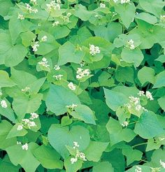 Buckwheat (Common) (OG).  Plant Spring to Summer.  Frost sensitive.  Fast Growing.  50-90 Lb. per acre.  Bees and beneficial insects.  Not a nitrogen fixer.