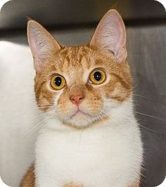 Medina, OH - Domestic Shorthair. Meet Blaze, a cat for adoption. http://www.adoptapet.com/pet/13478157-medina-ohio-cat