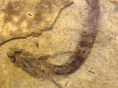 Arqueólogos descobre fóssil de peixe em tão bom estado de conservação que o tecido dos olhos ainda é perfeitamente detectável.