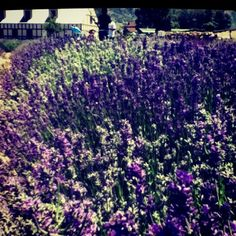 Lavender from the Young Living farm in Mona, Utah.