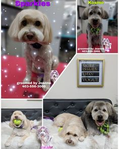 Old man Kosmo & sparkles Grooming Salon, Pet Grooming, Bichon Frise, Venison, Spa Day, Dog Training, Sparkles, Pup, Canada