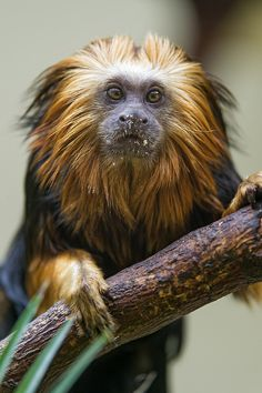 Looks like a diminutive Wookie. Lion tamarin on the branch (by Tambako the Jaguar)
