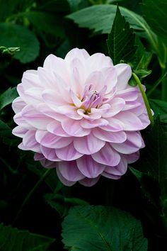 Dahlia 'Crystal Beauty', early September.
