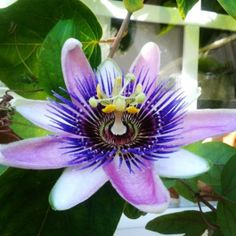 Passionflower grown in Stuart, Fl