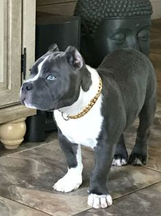 Exceptional Beautiful dogs detail are available on our internet site. look at this and you wont be sorry you did. Pit Puppies, Cute Dogs And Puppies, Doggies, Amstaff Terrier, Pitbull Terrier, Dogs Pitbull, Bull Terriers, Beautiful Dogs, Animals Beautiful