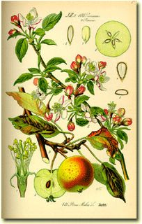 The bark of the root of apple trees is used for fevers. Apples-rich in magnesium, iron, potassium, and Vitamins C, B and B2, reduce acid in stomach, cleanse liver, promote restful sleep. Peeled, relieve diarrhea, stewed unpeeled a laxative. Baked apples can be applied warm as a poultice for sore throats and fevers. Unpasteurized apple cider will restore the correct bacteria to the bowels after antibiotics.