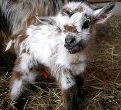 Baby Goat ツ I love the coloring of this one