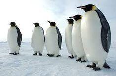 「emperor penguin」の画像検索結果