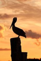 A brown pelican photographed at Silver Lake, Ocracoke Island .North Carolina. | Photos of the Outer Banks