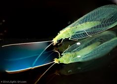 Lacewing - this is an adult lacewing (Chrysopidae)